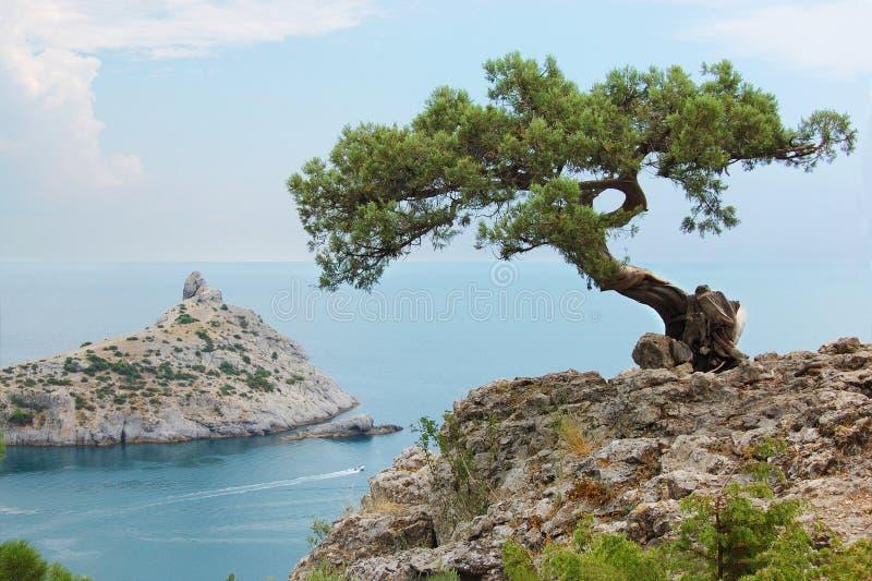 Solo árbol de pino, Ucrania, Crimea imagen de archivo libre de regalías