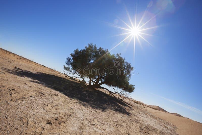 Solo árbol del Tamarisk (articulata del Tamarix) en el desierto del Sáhara. foto de archivo libre de regalías
