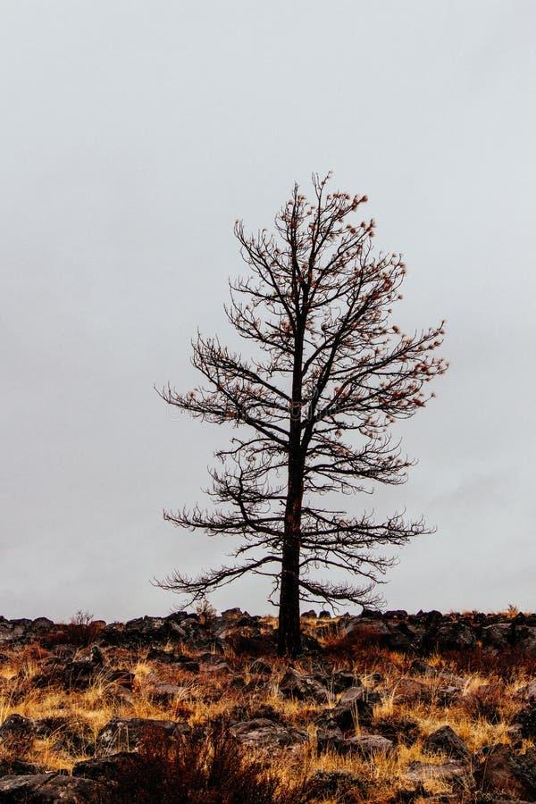 Solo árbol deshojado aislado en un campo con un fondo blanco oscuro foto de archivo libre de regalías