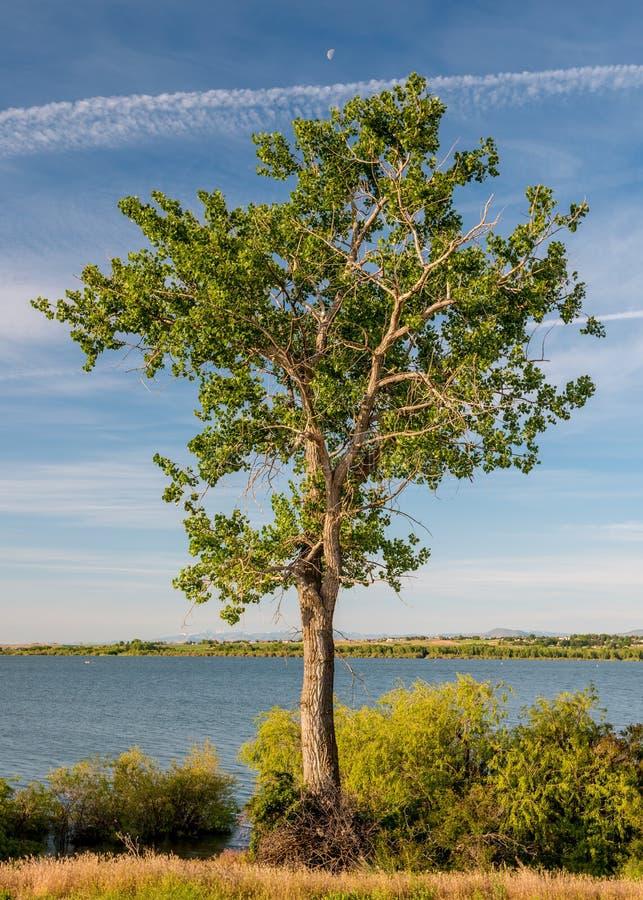 Solo árbol solitario con una media luna cerca de un lago fotografía de archivo libre de regalías
