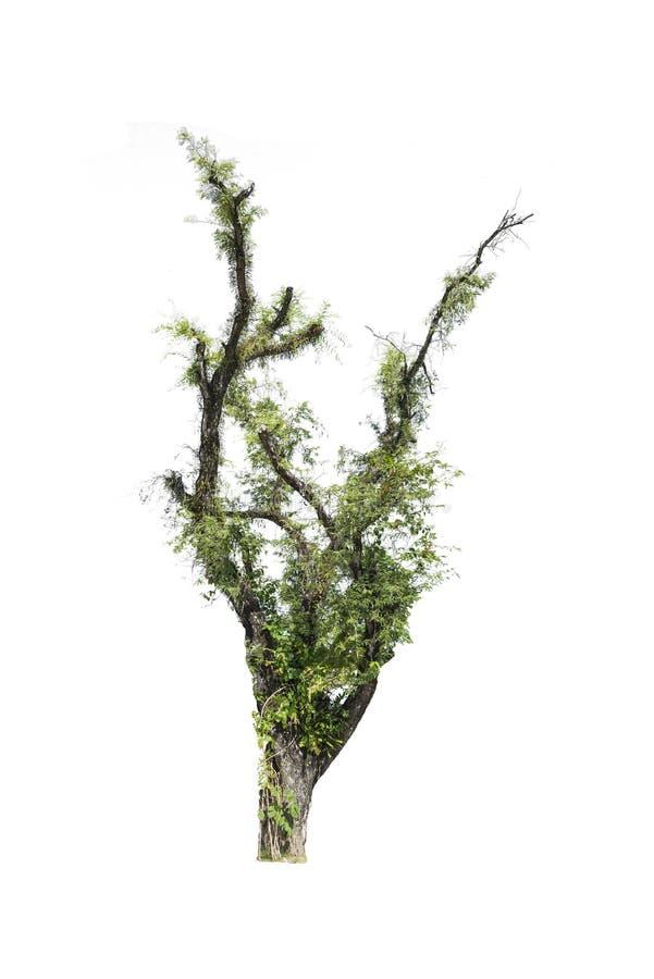 Solo árbol viejo aislado en el fondo blanco fotografía de archivo