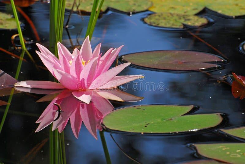 Solo agua-lirio rosado con su reflexión foto de archivo