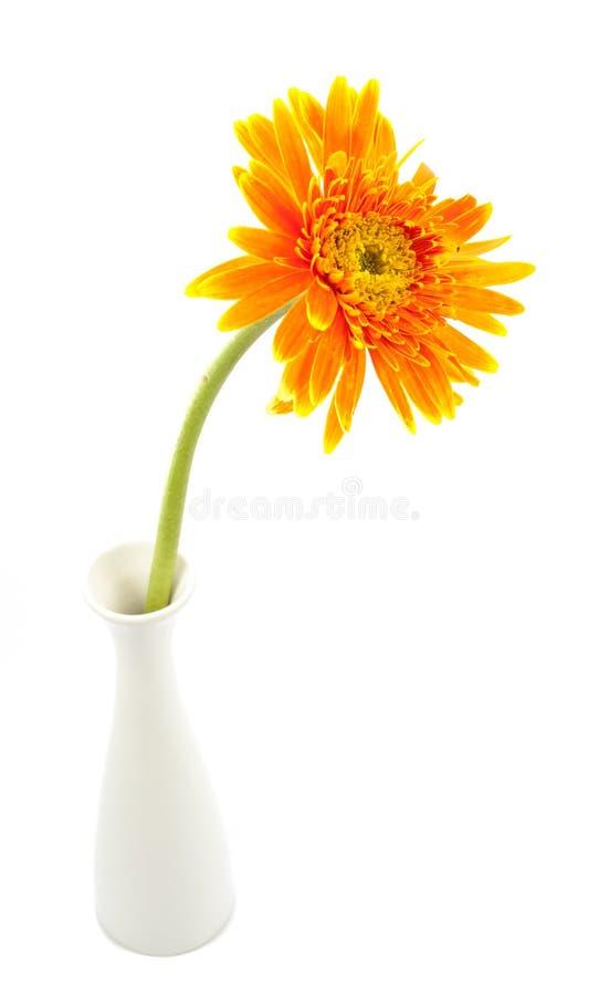 Solo amarillo de la flor del gerbera en el florero aislado imagen de archivo