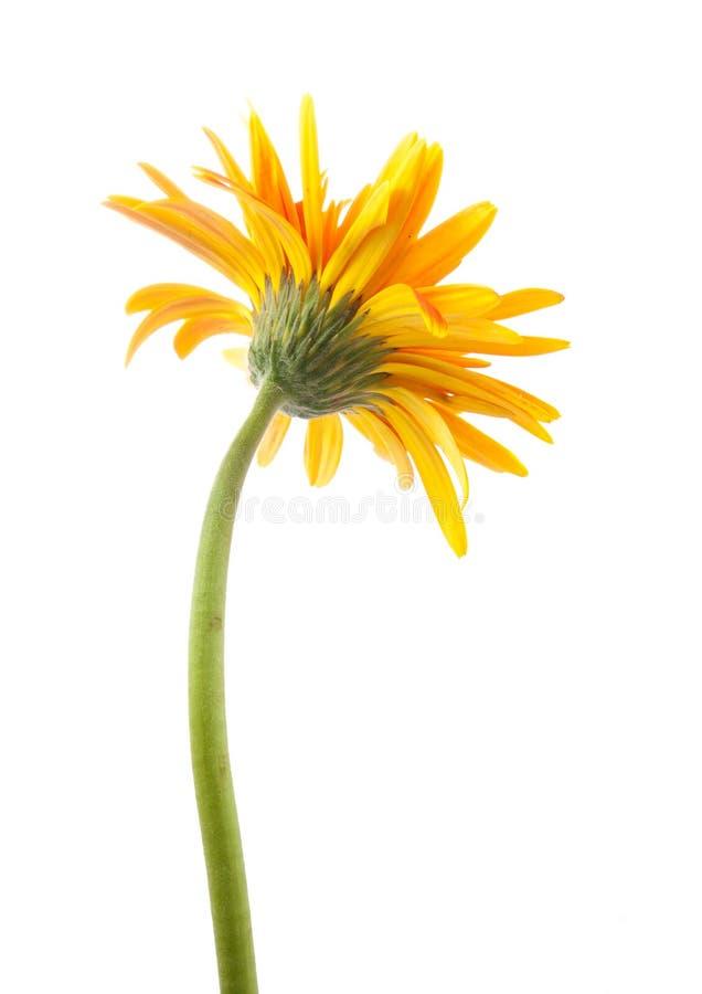 Solo amarillo trasero de la flor del gerbera aislado fotos de archivo libres de regalías