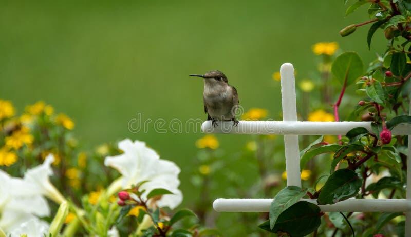Solo animal del colibrí en jardín imagenes de archivo