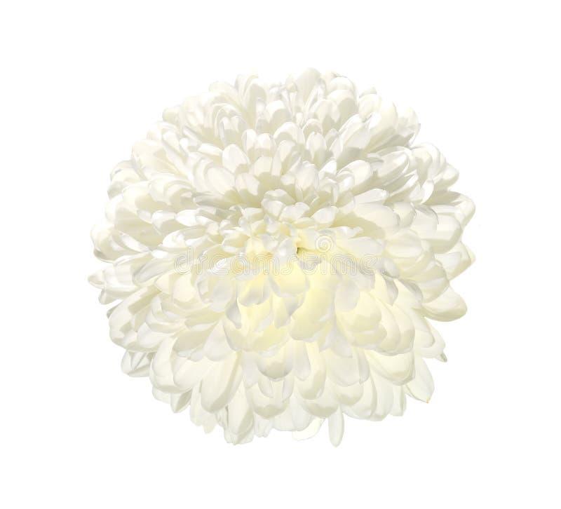 Solo cierre blanco de la flor del crisantemo para arriba, aislado en un blanco ilustración del vector