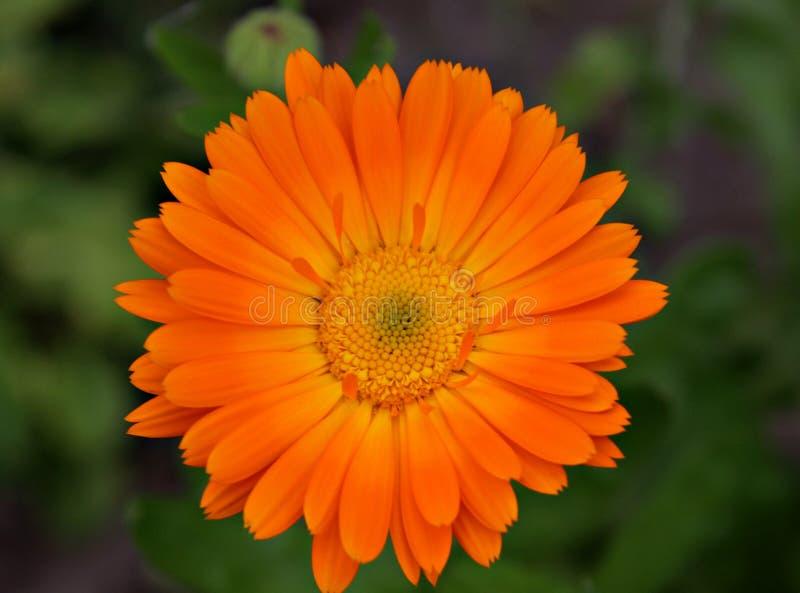 Solo cierre de la maravilla de la flor para arriba fotografía de archivo libre de regalías