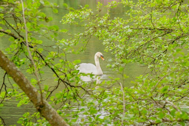 Solo cisne blanco en el lago foto de archivo