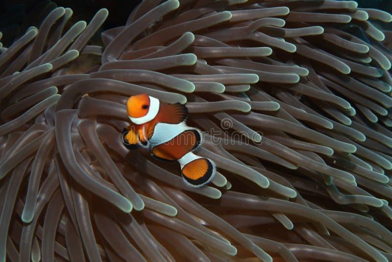 Solo clownfish w anemonie obrazy royalty free