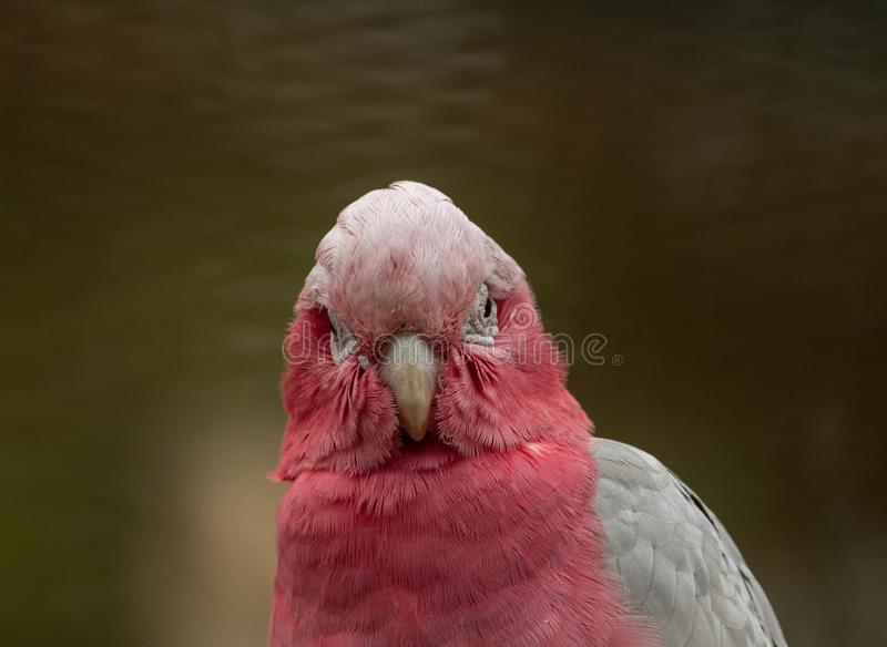 Staring into the eyes of a Cockatoo stock photos