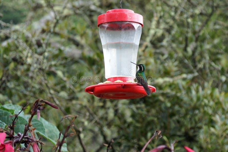 Solo colibrí que se sienta en un alimentador fotos de archivo