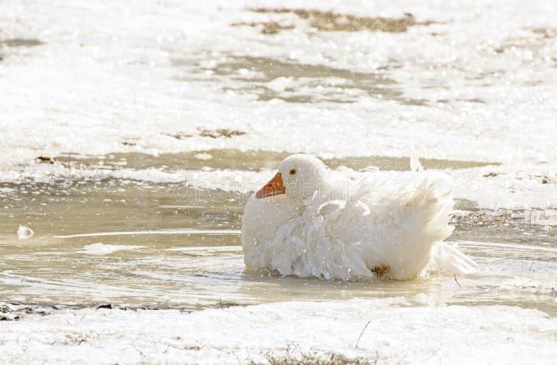 Solo ganso blanco hermoso que se sienta en hielo fotografía de archivo