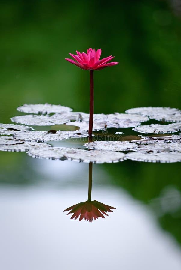 Solo lirio de agua magenta con la reflexión fotografía de archivo libre de regalías