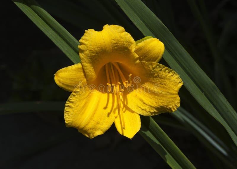 Solo lirio de día amarillo brillante en Sunny Day foto de archivo libre de regalías