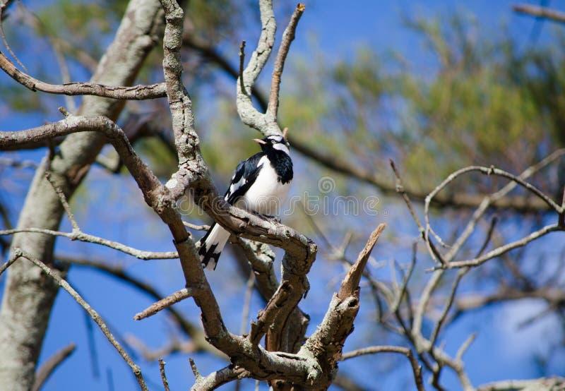 Solo pájaro de la Urraca-alondra en una rama del árbol en un bosque en Australia fotografía de archivo libre de regalías
