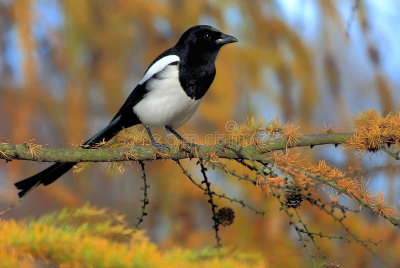 Solo pájaro de la urraca europea en rama de árbol imágenes de archivo libres de regalías