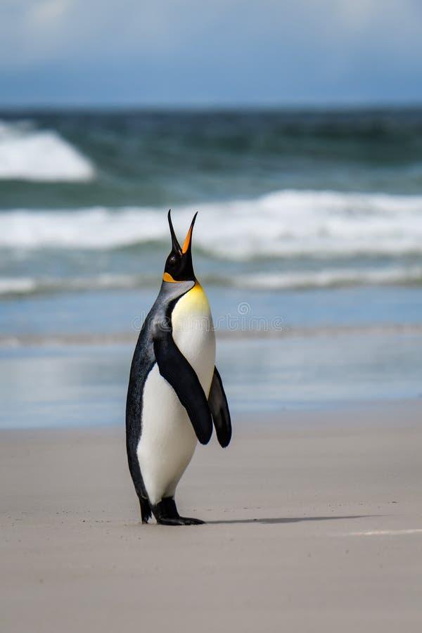Solo rey Penguin que se coloca en una playa arenosa que se opone pedir alto su compa?ero, a un fondo del oc?ano y del cielo, Falk imagen de archivo