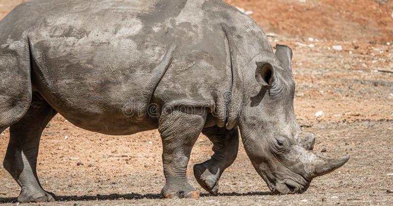 Solo rinoceronte blanco africano en la naturaleza salvaje que busca la comida imagenes de archivo