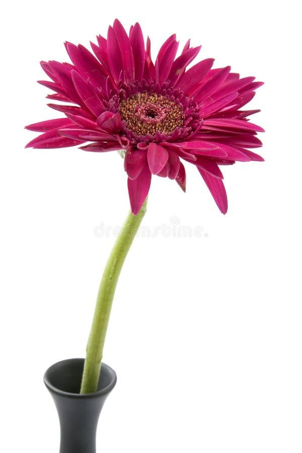 Solo rosa de la flor del gerbera imagen de archivo