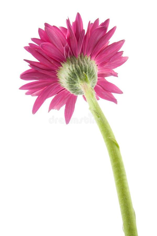 solo rosa de la flor del gerbera aislado foto de archivo libre de regalías