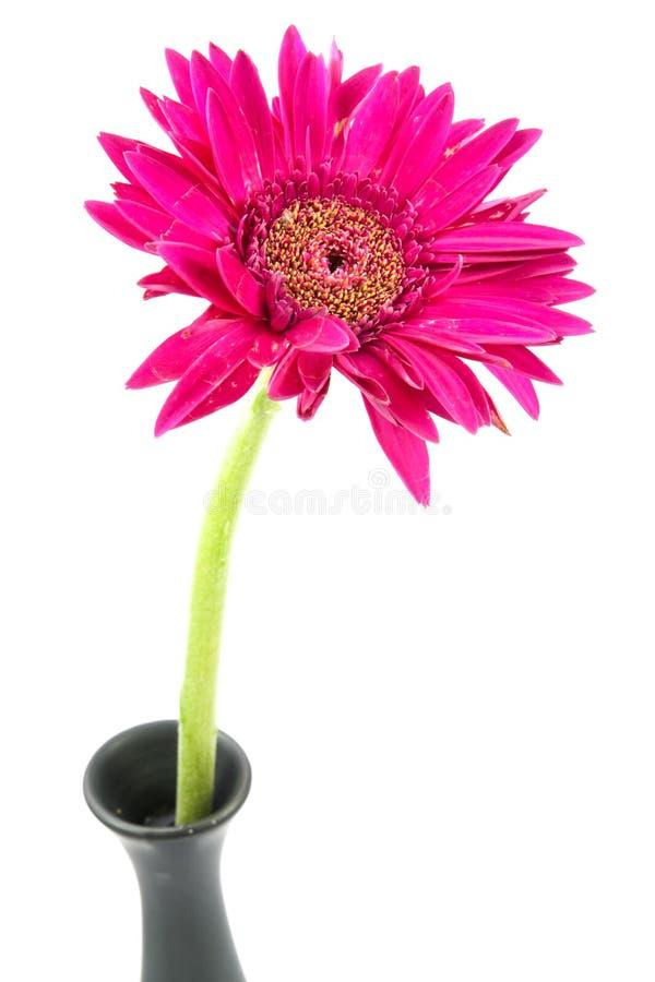 solo rosa de la flor del gerbera aislado fotografía de archivo