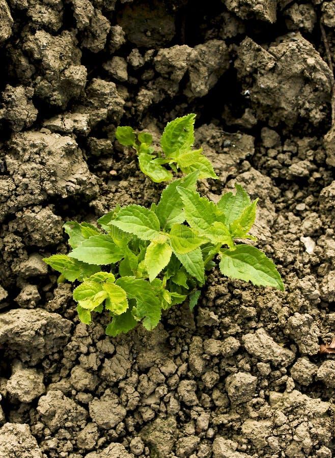 Solo seco crescente da calha da planta verde imagens de stock royalty free