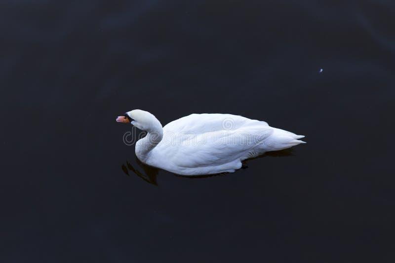 Solo svan på en sjö fotografering för bildbyråer