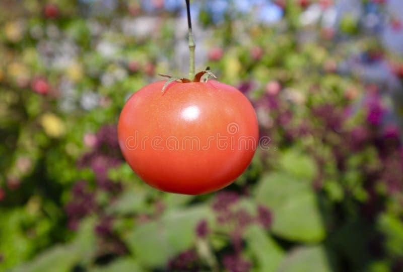 Solo tomate jugoso rojo que crece en jardín fotografía de archivo