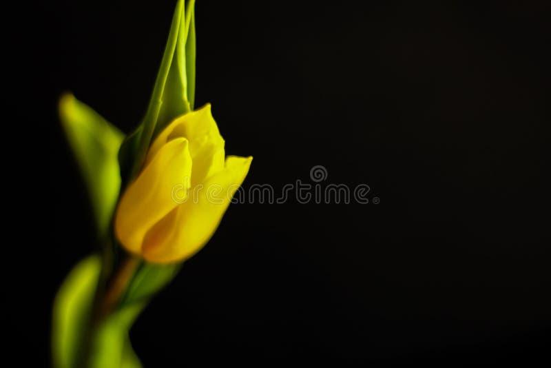 Solo tulip?n - concepto de la primavera imagenes de archivo