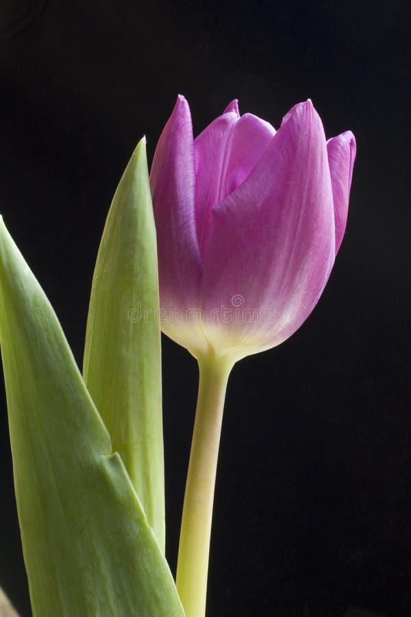 Solo tulipán púrpura foto de archivo libre de regalías