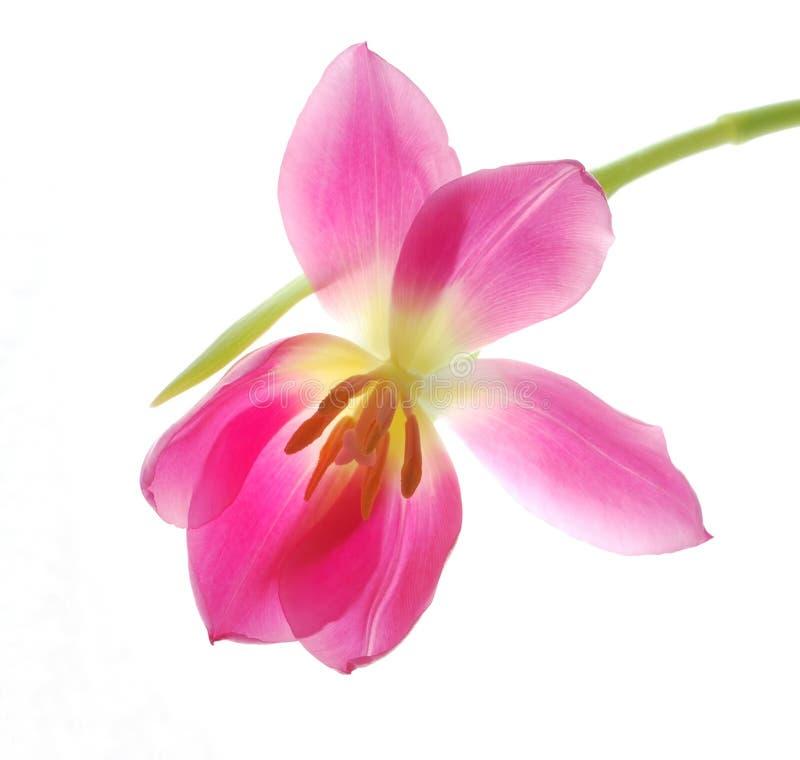 Solo Tulipán Rosado Imágenes de archivo libres de regalías