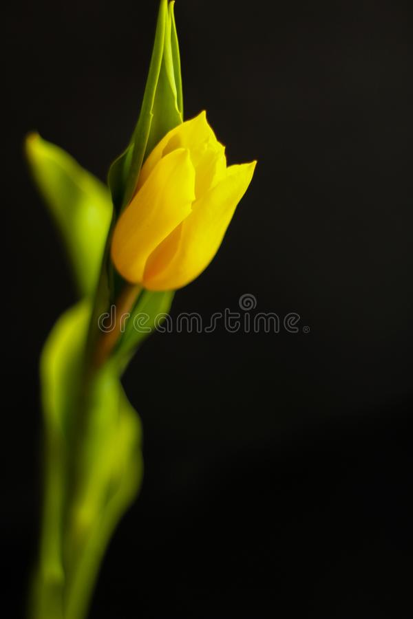 Solo tulip?n - concepto de la primavera imagen de archivo libre de regalías