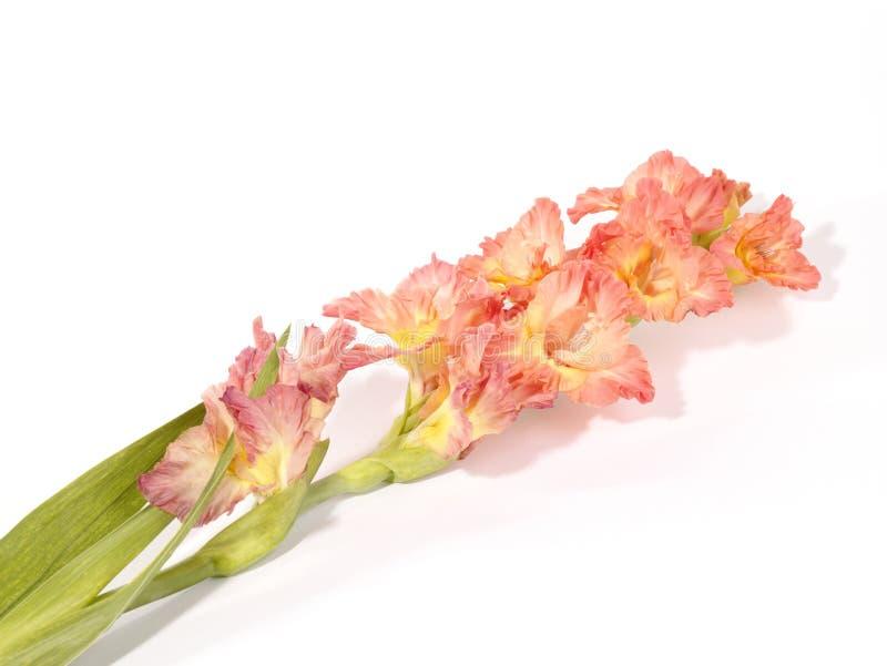 Solo vástago rosado y blanco del gladiola fotos de archivo libres de regalías