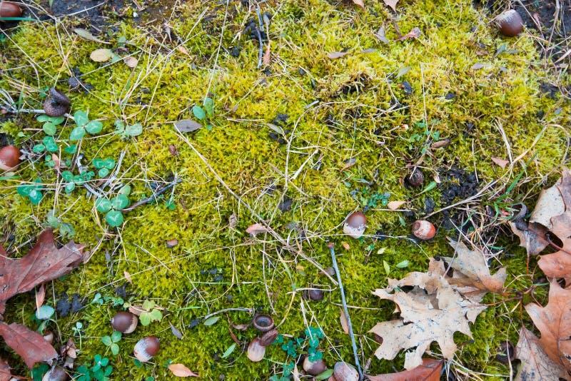 Solo verde-claro do preto da tampa do musgo, algumas plantas verdes do trevo, prado do outono, fundo colocado liso conceptual saz fotografia de stock