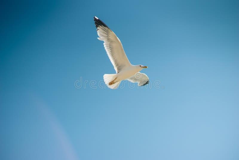 Solo vuelo de la gaviota, cielo azul en fondo imágenes de archivo libres de regalías