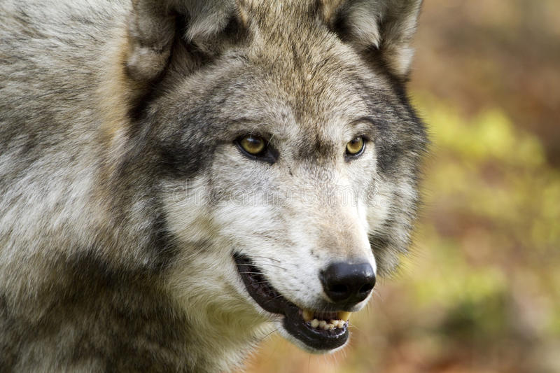 Download Solo Wolf staring intently stock image. Image of drools - 28606469