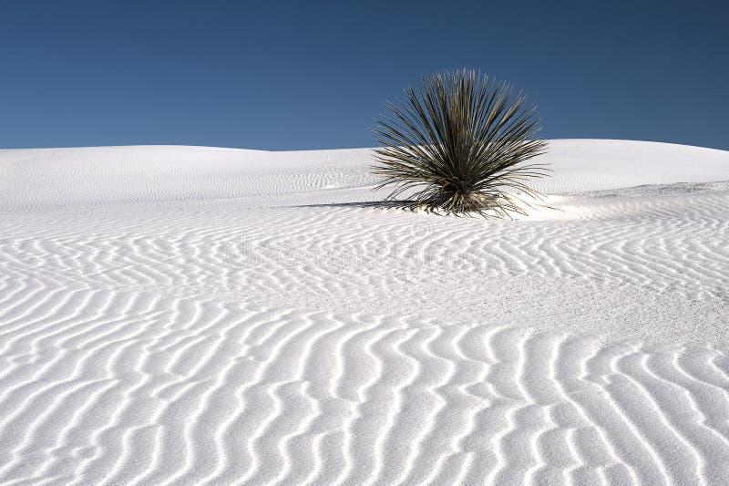 Solo- Yucca auf weißem Sand stockfotos
