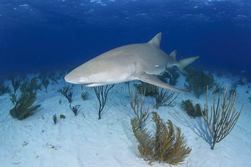 Solo- Zitronenhai, der über Sandy Ocean Bottom schwimmt stockbilder