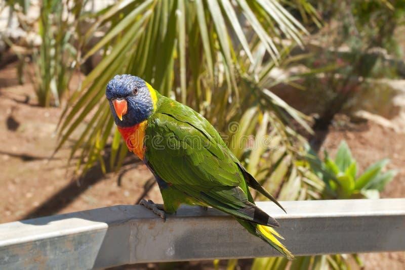 Solomon Island Eclectus Parrots (solomonensis di roratus di Eclectus) immagine stock libera da diritti