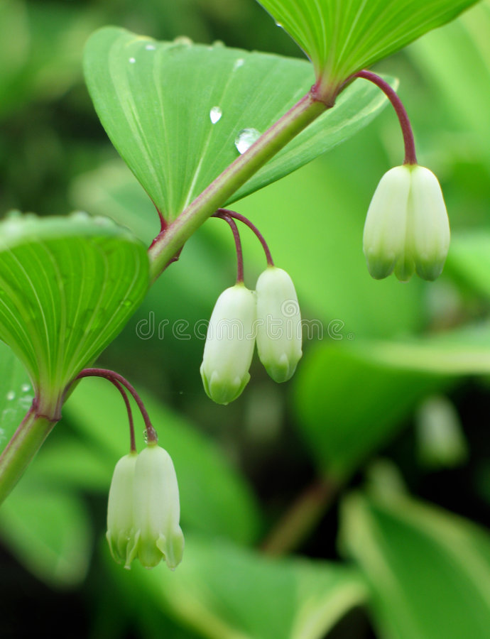 Solomon's seal flowers royalty free stock images