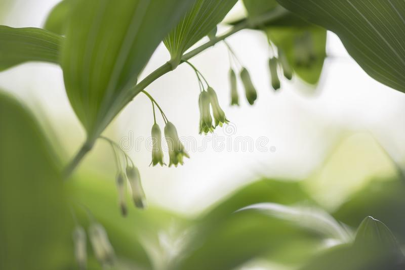 Solomon seal - Polygonatum odoratum. Solomon seal is a genus of perennial herbs. In the 23rd edition of the Heukels, it is housed in the asparagus family stock image
