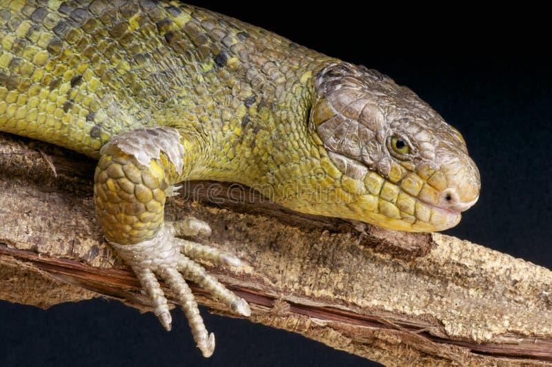 Solomon wyspy Skink, Corucia zebrata/ fotografia royalty free