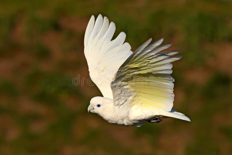 Solomons kakadua, Cacatuaducorpsii som flyger den vita exotiska papegojan, fågel i naturlivsmiljön, handlingplats från löst, Aust royaltyfria foton