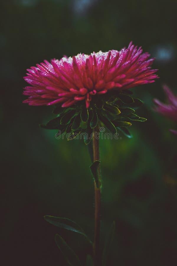 Solos asteres rosados hermosos de la flor Fondo oscuro abstracto Espacio en el fondo para la copia, texto, sus palabras imagenes de archivo