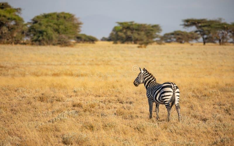 Solos cebra común, quagga del Equus, en paisaje africano con la hierba y los árboles altos en fondo foto de archivo libre de regalías
