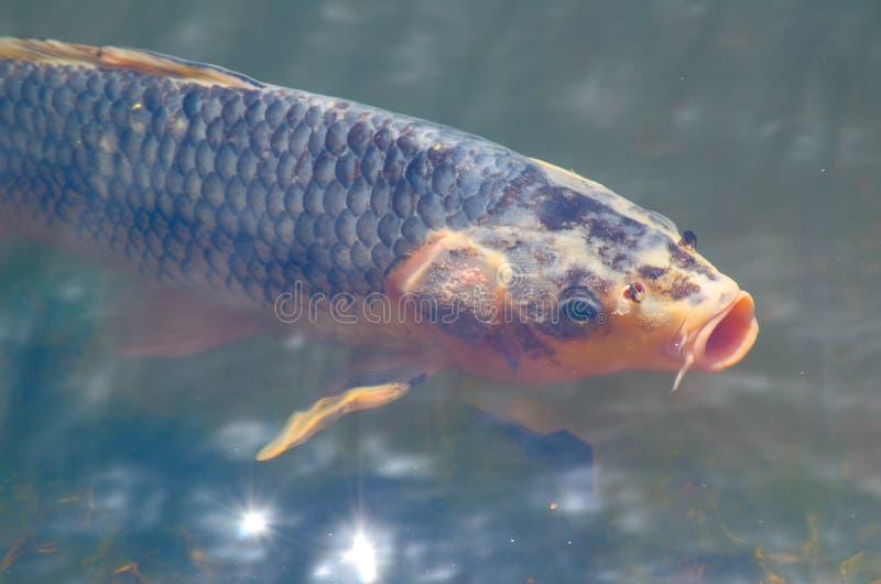 Solos pescados blanco-grises mezclados hermosos de la carpa de la suposición del color en la charca de agua poco profunda fotos de archivo