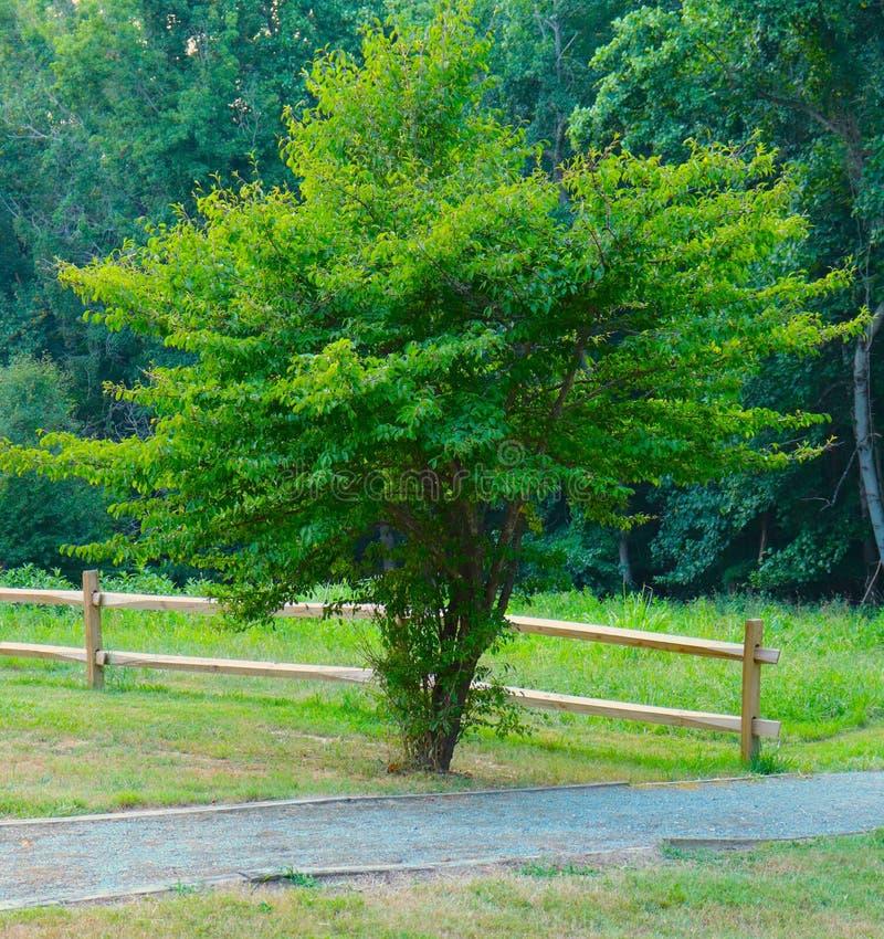Solos soportes del árbol delante de Forest Alongside Wood Fence y de un camino fotografía de archivo libre de regalías