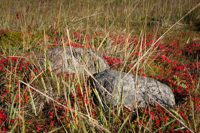 Solovki berries, Solovki royalty free stock photography