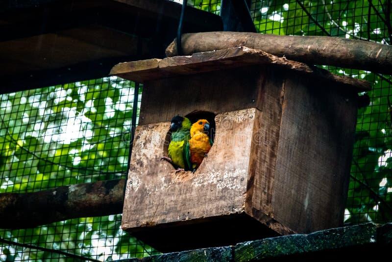 Solparakiter- och Nanday parakiterpar på Parque das avar - Foz gör Iguacu, Parana, Brasilien royaltyfri bild