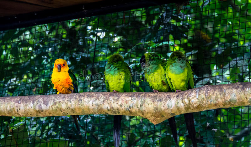 Solparakiter som ut nästan står Nanday parakiter på Parque das avar - Foz gör Iguacu, Parana, Brasilien royaltyfria foton